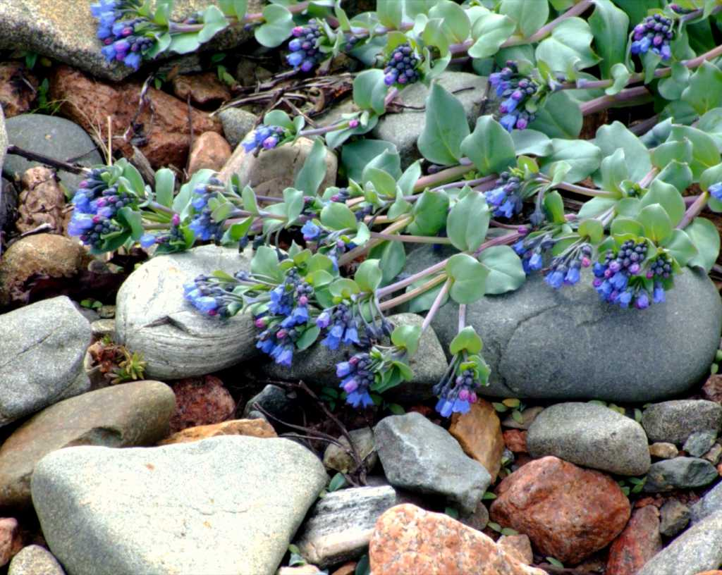 Mertensia maritima plant crawling along a pebble shore, blooming.