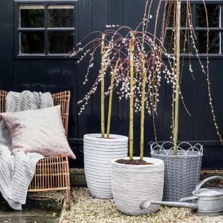 Container growing willow