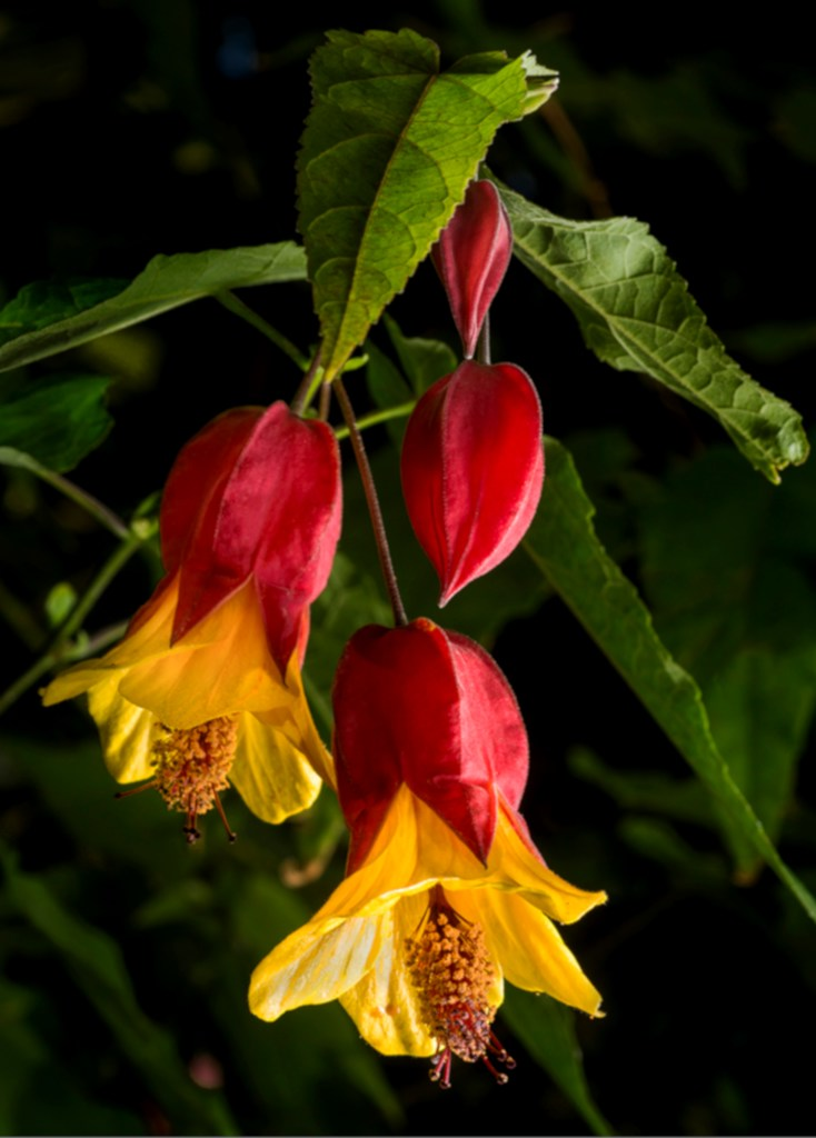 Three abutilon flowers and leaves on black background, with yellow petals and red cuppolas.