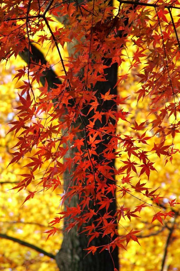 Large trunk of an Acer palmatum with red leaves in the foreground and yellow ones in the background.
