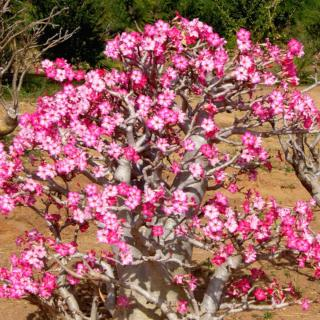 Well-cared for adenium in a hot climate, blooming