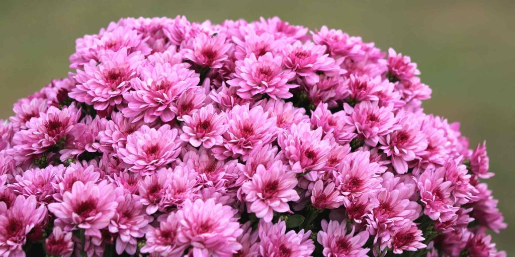 Pink chrysanthemums for tombs
