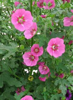 Anisodontea bush in full bloom.