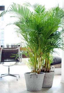 Two areca palm pots in a living room.