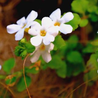Healthy bacopa with flowers and young leaves.