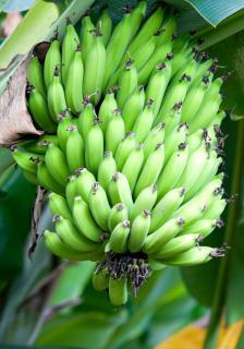 A full ream of maturing bananas still hanging from the tree.