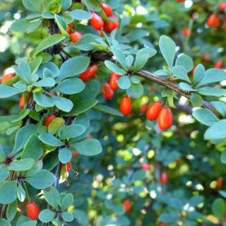 Barberry shrub with full green leaf cover and red berry fruits.