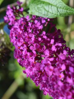 Buddleja flower panicle close up, deep pink color.