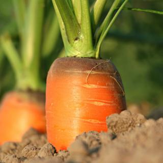 Carrot growing in the soil, slightly uncovered at the crown.