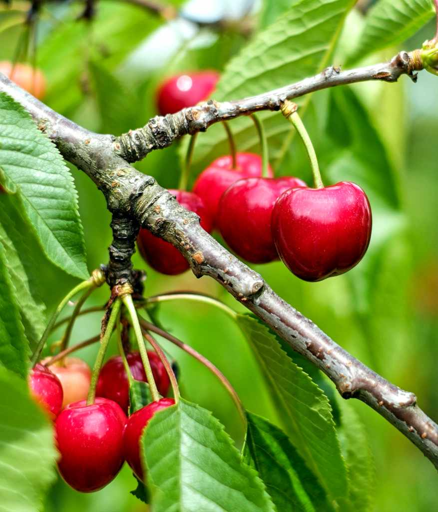 Cherry tree, an easy and generous fruit tree
