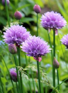 Chives in full bloom with pastel violet flowers.