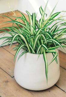Chlorophytum in white pot near a staircase