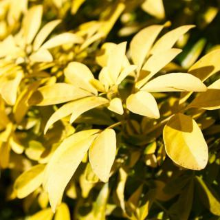 Choisya ternata Sundance, a golden-leaved Mexican Orange