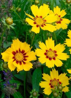 Coreopsis flower cluster
