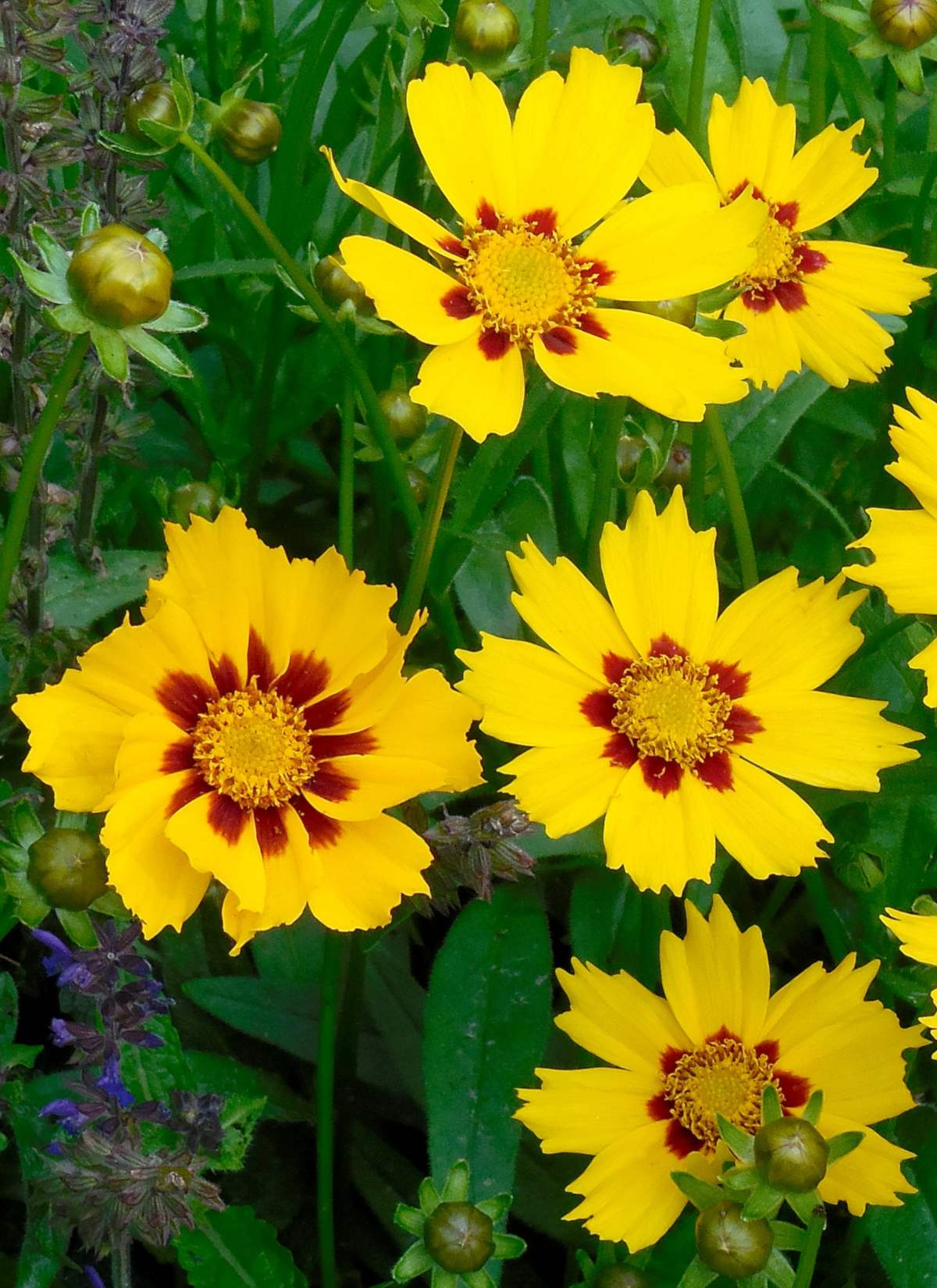 Coreopsis, Calliopsis, tickseed, the charming eye