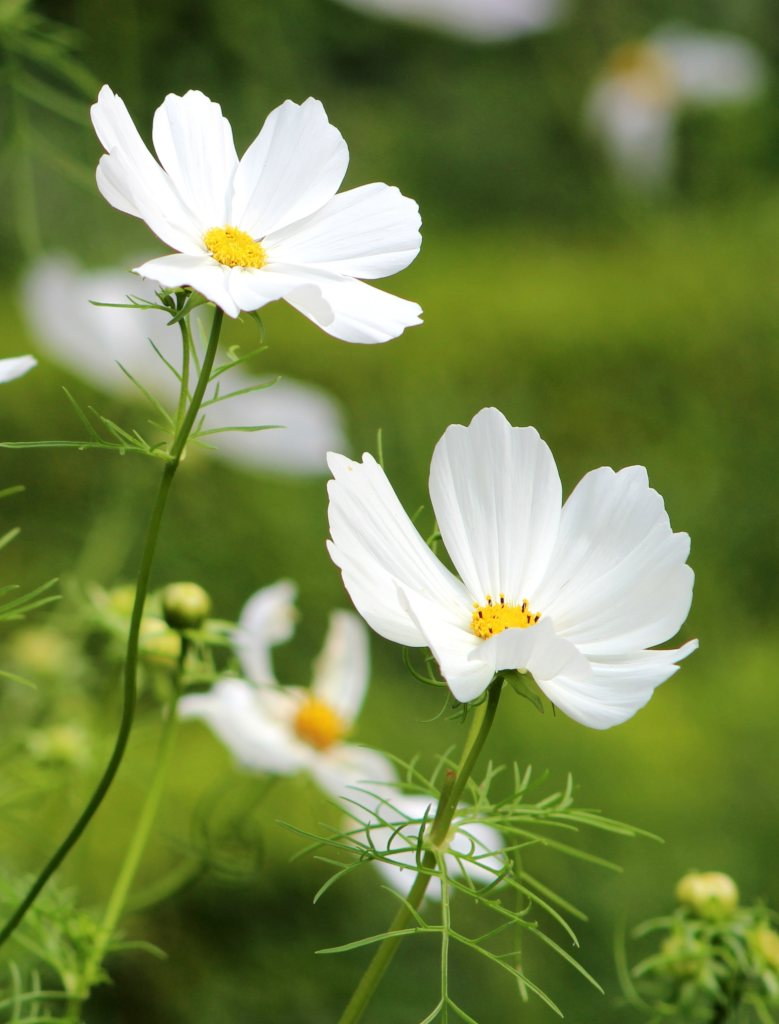 White cosmos flowers, but they also come in all the other colors.