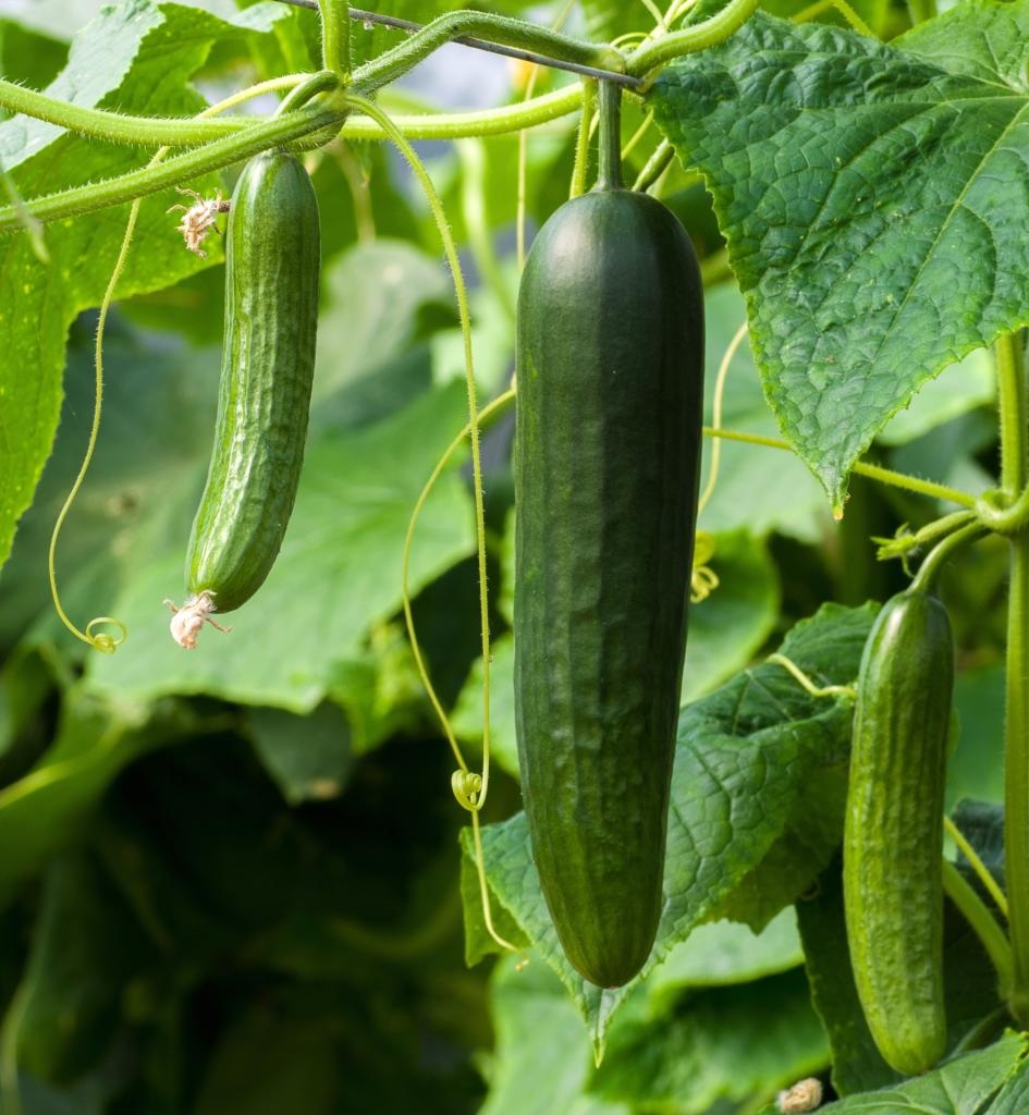Cucumber and pickles grow from the same plant.