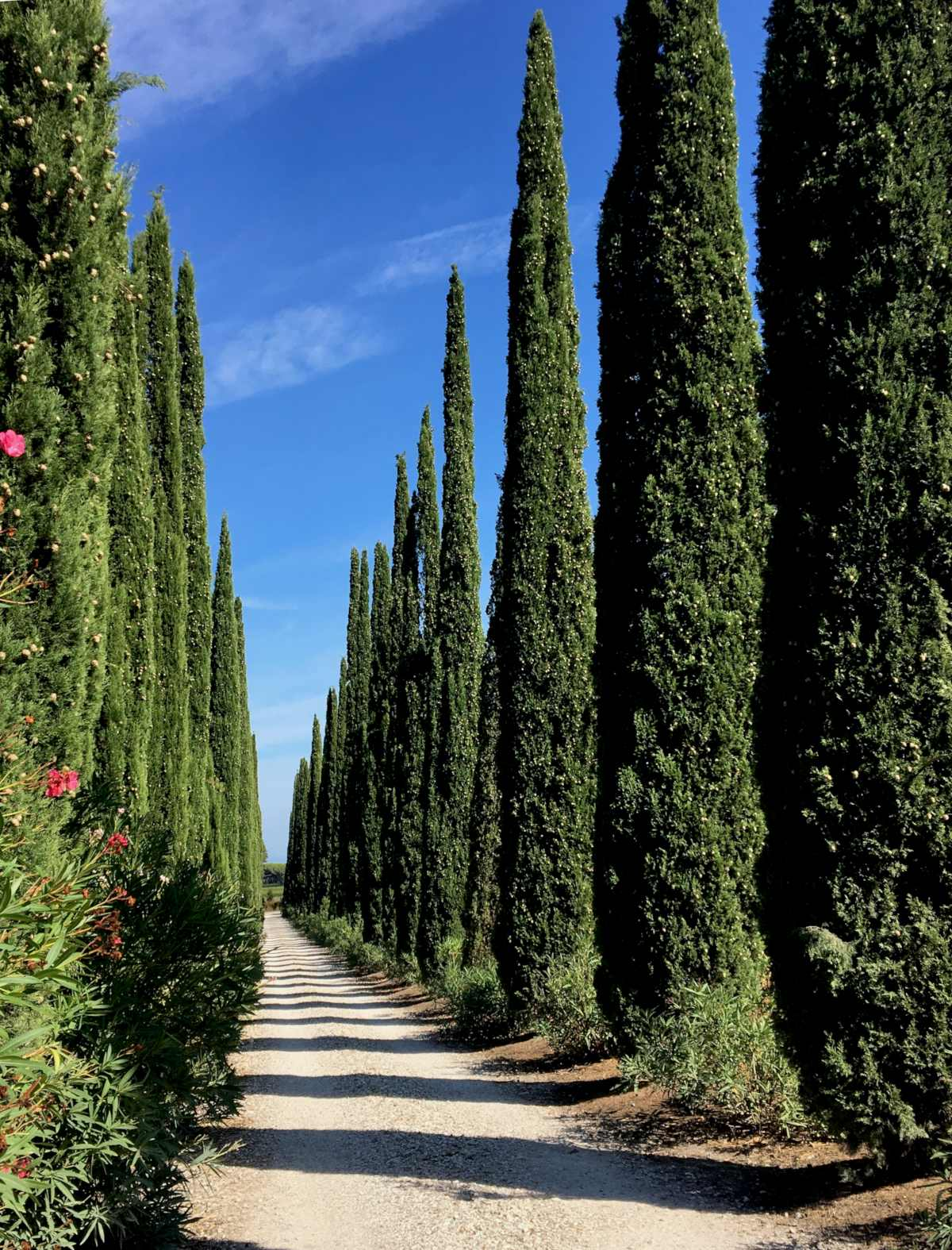 Cypress tree, a superb conifer