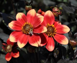 This black-leaved dahlia does better in full sun.