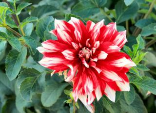 Red and white dahlia blooming against green leaves.