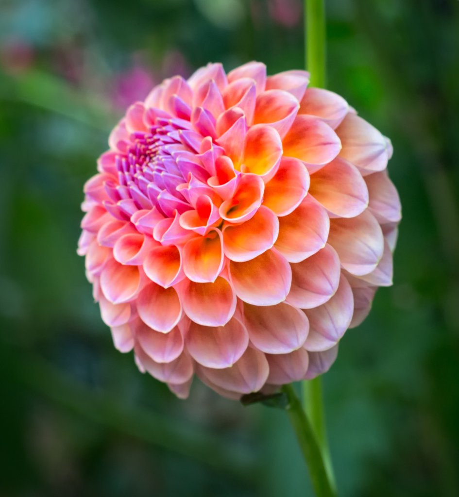 Dahlia, unique garden flowers