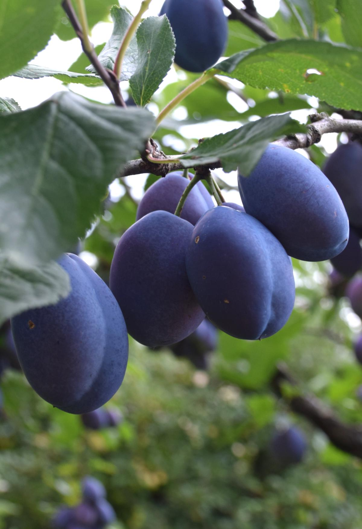 Damson plums on a branch