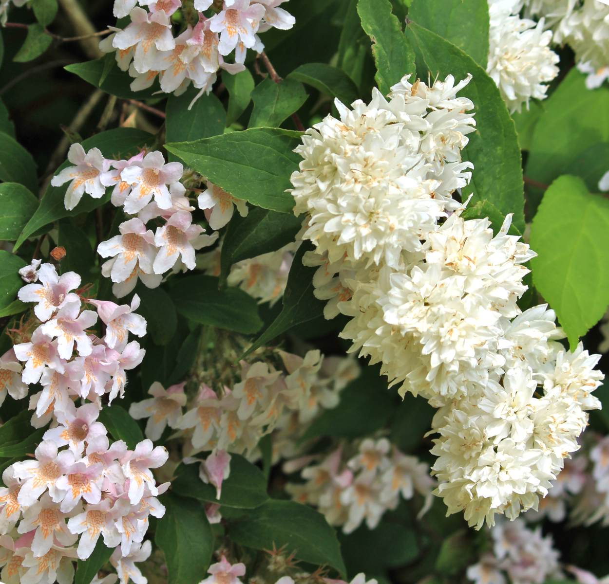 Two varieties of deutzia flowering next to each other.