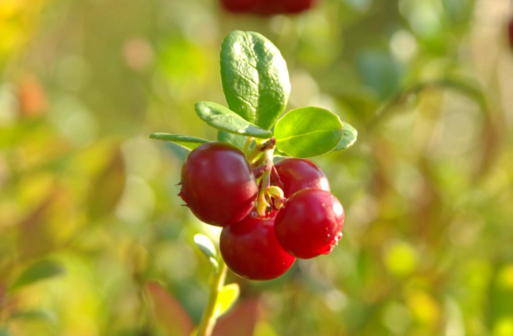 Exotic berry shrubs like cranberry, shown here, survive harsh winters.