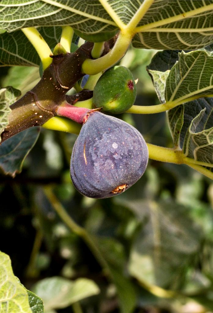 Ficus carica tree with a violet purple fig on branch.