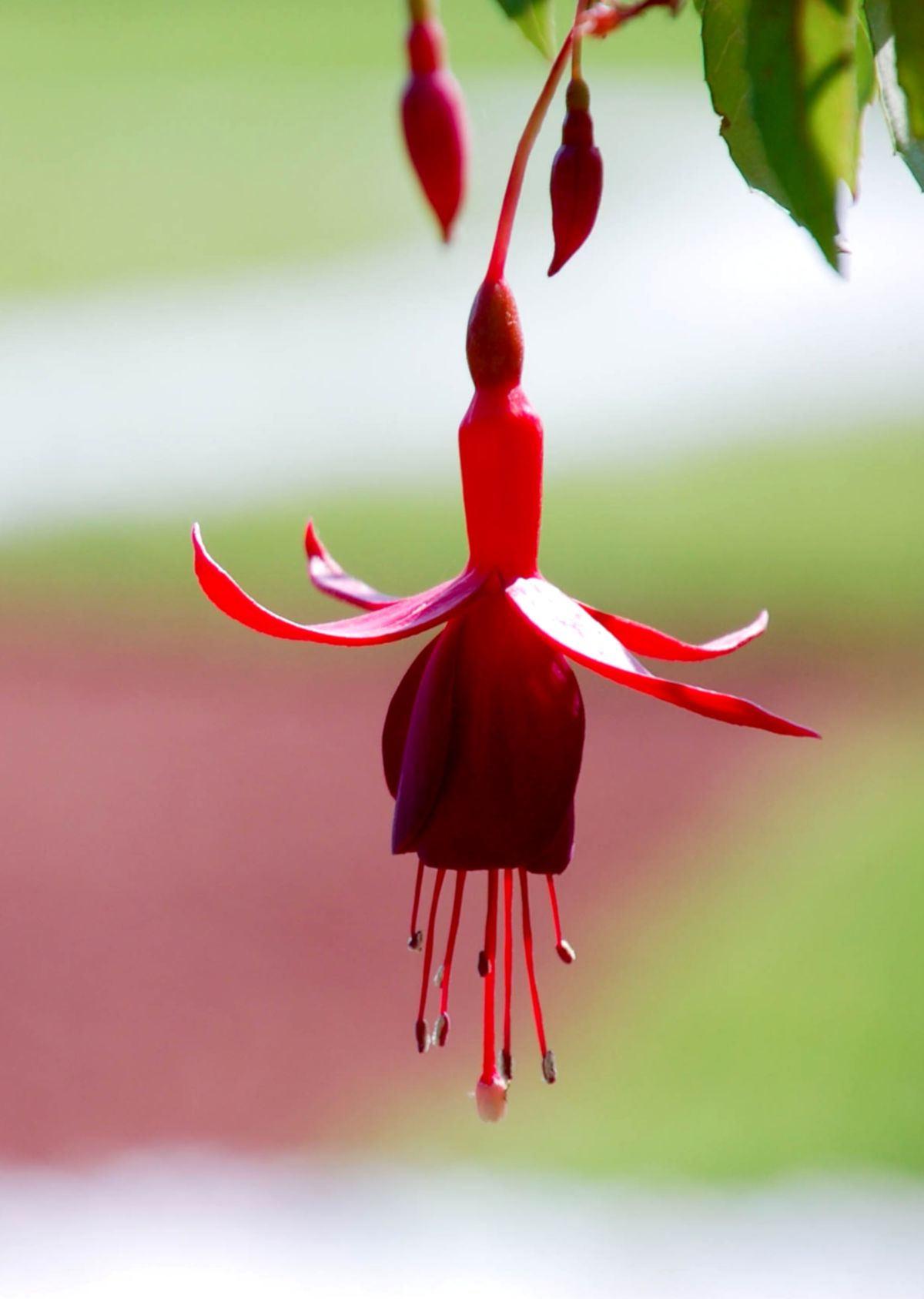 Fuchsia, exceptional flowers