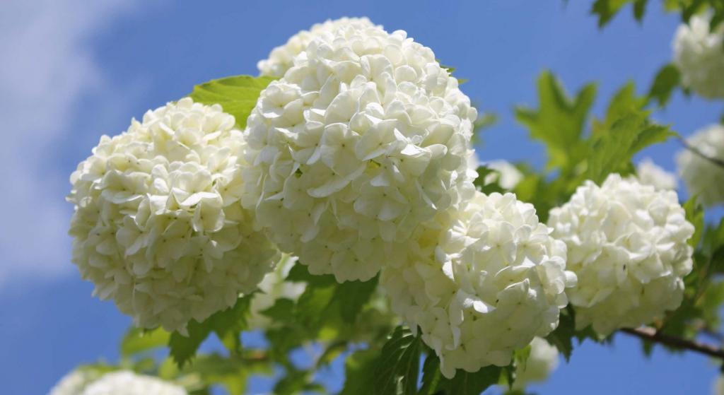 Guelder-rose blooms against blue sky