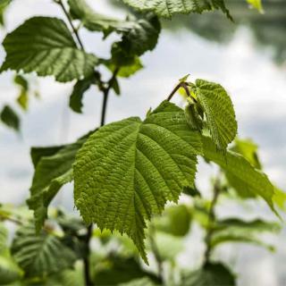 Hazel leaves on branch
