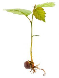 Hazel seedling sprouting from a hazelnut.
