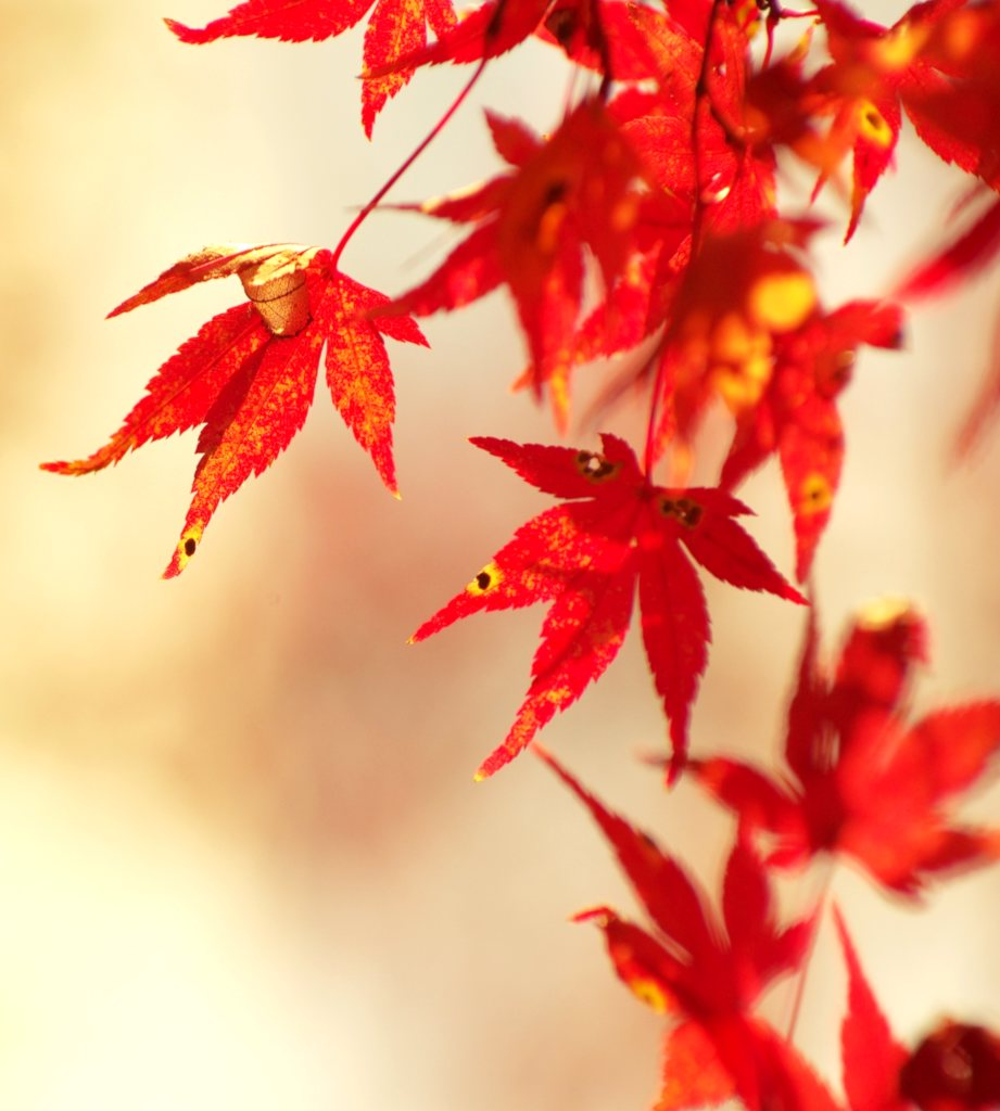 Japanese maple leaves, bright orange-red against a hazy ivory-colored bokeh.