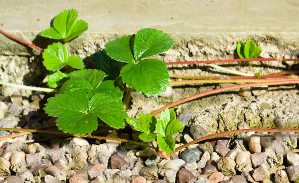 Runners of strawberry plants guided along a cement driveway to spread and multiply.
