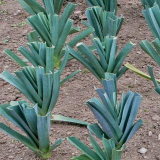 Sowing leek in rows for proper spacing