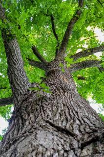 Liquidambar pruning, planting and care