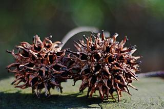 Liquidambar seed pods