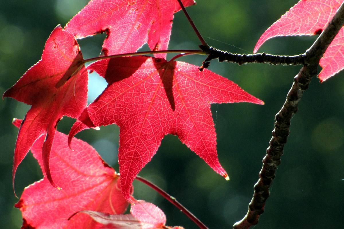 Red liquidambar leaves