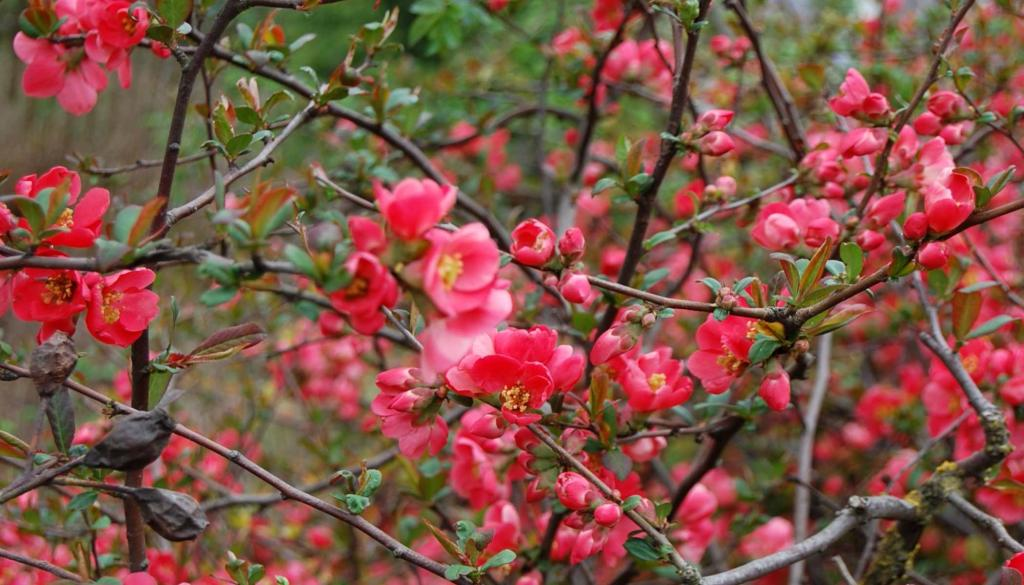 Maule's quince hedge blooming.