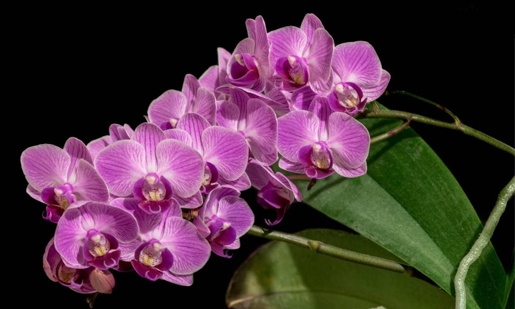 Pink-flowered phalaenopsis flower blooming.