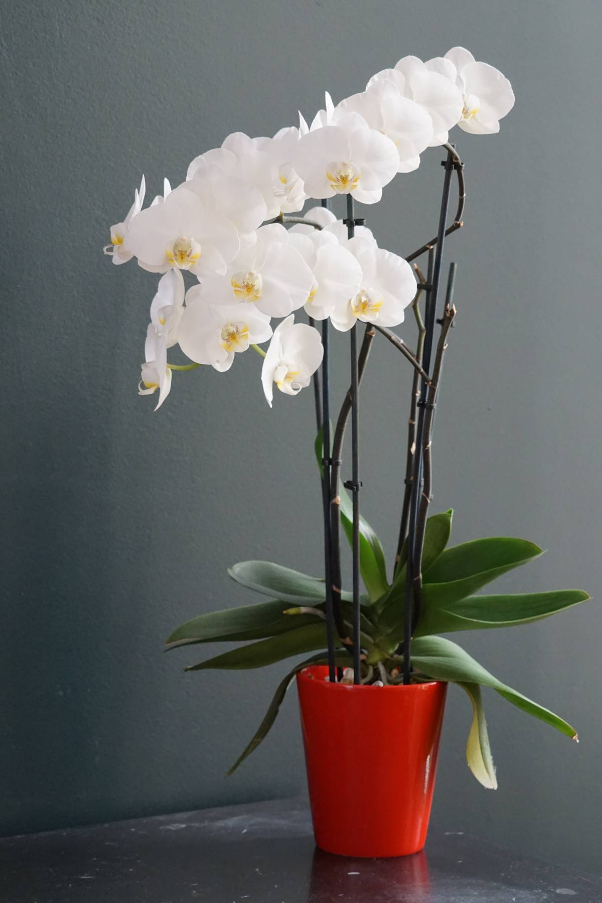 White-flowered Phalaenopsis orchid in a red pot.