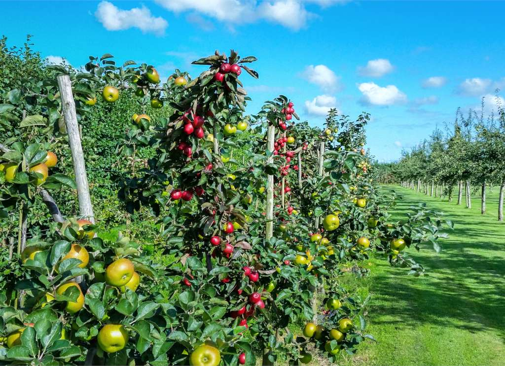 Apple tree plantation with red and green apples