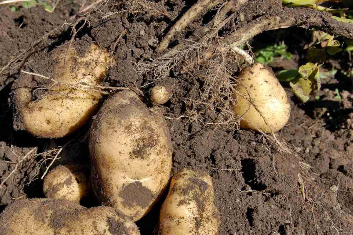 Potato, how to grow a bushel