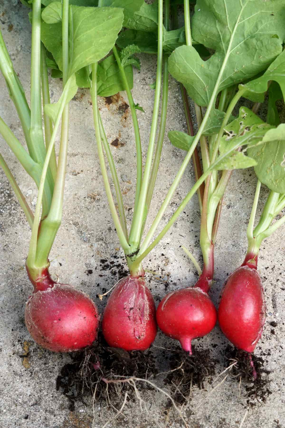 Four radish harvest on a cement block