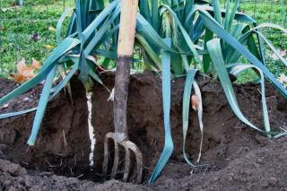 Ridging means raising the soil around the plant often