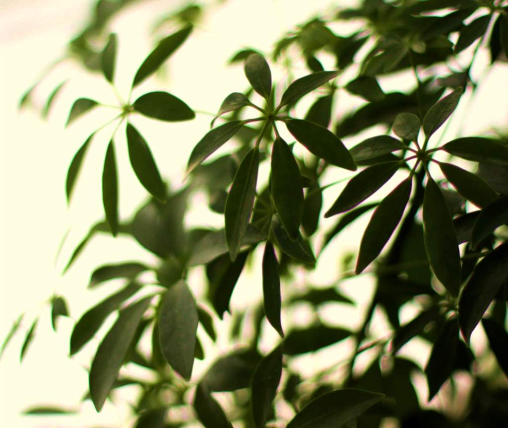 Schefflera leaves with a white backdrop.