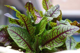 Sorrel growing, care and harvest