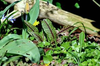 Slug symptoms on sorrel