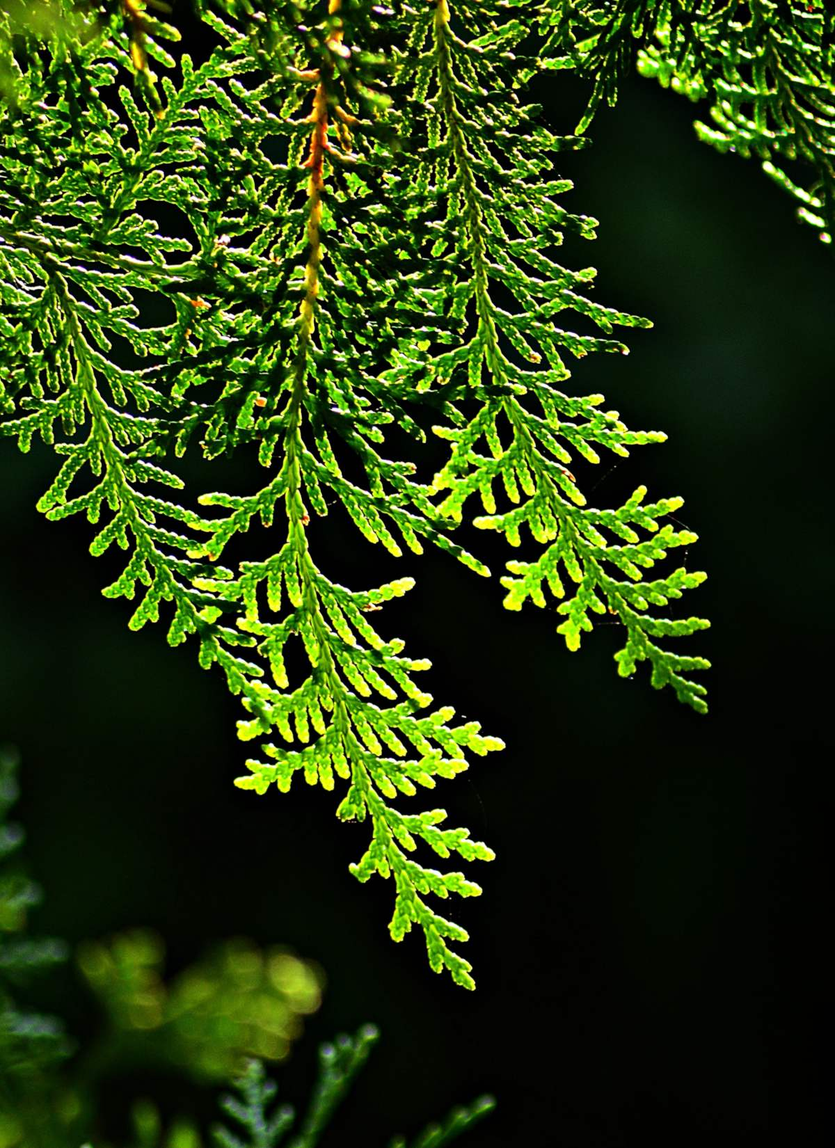 Backlit branch of thuja against a black background